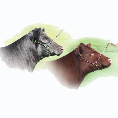 Sullivan Western Edge Cattle Show Halter, Small
